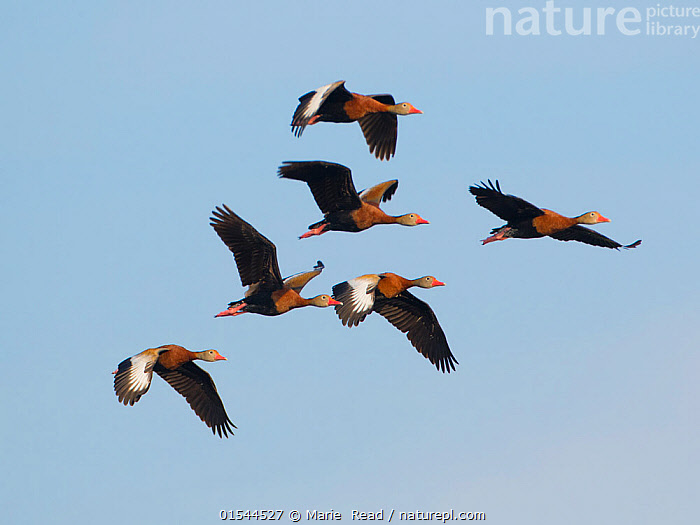 Black-bellied whistling ducks (Dendrocygna autumnalis) flock of six in flight, Venice, Florida, USA, March.  ,  Animal,Vertebrate,Bird,Birds,Water fowl,Waterfowl,Whistling duck,Black bellied whistling duck,American,Animalia,Animal,Wildlife,Vertebrate,Aves,Bird,Birds,Anseriformes,Water fowl,Galloanserans,Waterfowl,Anatidae,Dendrocygna,Whistling duck,Tree duck,Dendrocygna autumnalis,Black bellied whistling duck,Black bellied tree duck,Red billed tree duck,Red billed Whistling duck,Flying,Group,North America,USA,Southern USA,Southeast US,Florida,Sky,Wetland,Blue sky,American,United States of America,Wildfowl  ,  Marie  Read