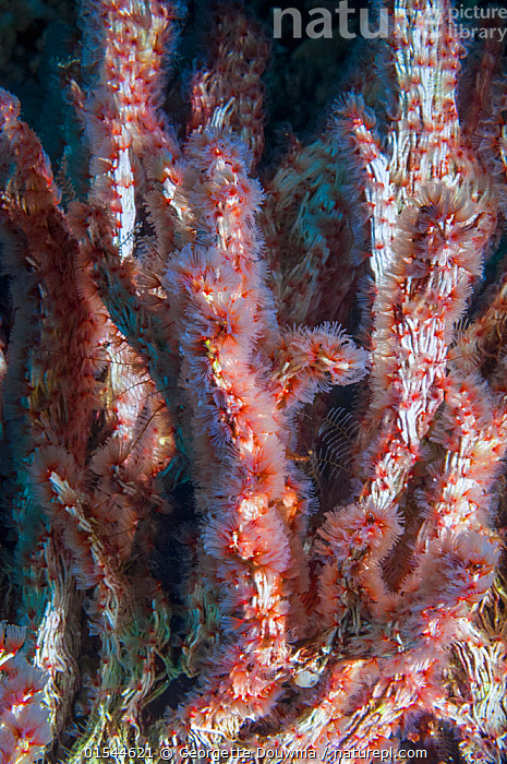 Coral worms (Filograna implexa / Serpulidae).  A colonial species of worm that builds irregular masses of calcareous tube.  West Papua, Indonesia.  ,  Animal,Annelid,Polychaete,Tube worm,Fan worm,Coral worm,Animalia,Animal,Wildlife,Annelida,Annelid,Annelid worms,Polychaeta,Polychaete,Bristleworm,Bristle worm,Sabellida,Tube worm,Serpulidae,Fan worm,Filograna,Filograna implexa,Coral worm,Group Of Animals,Animal Colony,Group,Oceania,Melanesia,New Guinea,Vertical,Tropical,Ocean,Pacific Ocean,Marine,Underwater,Water,Indo Pacific,Saltwater,Indonesia,Tropics,Invertebrate,Invertebrates,Marine  ,  Georgette Douwma