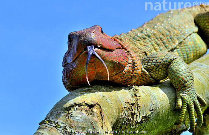 Nature Picture Library - Northern caiman lizard (Draecena