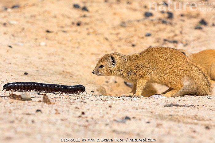 RF - Young Yellow mongoose (Cynictis penicillata) investigating giant African millipede (Archispirostreptus gigas), Kgalagadi Transfrontier Park, Northern Cape, South Africa, January. (This image may be licensed either as rights managed or royalty free.)  ,  Animal,Arthropod,Millipede,Giant millipede,Vertebrate,Mammal,Carnivore,Mongoose,Yellow mongooses,Yellow mongoose,Animalia,Animal,Wildlife,Myriapoda,Arthropod,Myriapod,Arthropoda,Diplopoda,Millipede,Myriod,Diplopod,Spirostreptida,Spirostreptidae,Archispirostreptus,Archispirostreptus gigas,Giant millipede,Graphidostreptus gigas,Spirostreptus gigas,Vertebrate,Mammalia,Mammal,Carnivora,Carnivore,Herpestidae,Mongoose,Cynictis,Yellow mongooses,Cynictis penicillata,Yellow mongoose,Curiosity,Friendship,Uncertain,Unsure,Face To Face,Two,Nobody,Meeting,Africa,Southern Africa,South Africa,Young Animal,Juvenile,Desert,Day,Nature,Wild,Reserve,Mixed species,Unlikely friends,Unusual friends,Protected area,National Park,Invertebrate,Two animals,International Parks,Kgalagadi Transfrontier Park,South African,Northern Cape,Investigating,Kgalagadi,RF,Royalty free,RFCAT1,RF16Q4,  ,  Ann  & Steve Toon