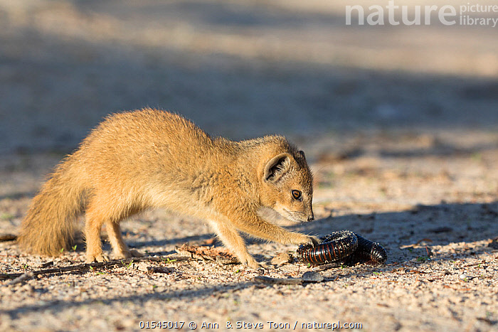 Yellow mongoose (Cynictis penicillata) young pup  investigating giant African millipede (Diplopoda) Kgalagadi Transfrontier Park, Northern Cape, South Africa, Animal,Arthropod,Millipede,Vertebrate,Mammal,Carnivore,Mongoose,Yellow mongooses,Yellow mongoose,Animalia,Animal,Wildlife,Myriapoda,Arthropod,Myriapod,Arthropoda,Diplopoda,Millipede,Myriod,Diplopod,Vertebrate,Mammalia,Mammal,Carnivora,Carnivore,Herpestidae,Mongoose,Cynictis,Yellow mongooses,Cynictis penicillata,Yellow mongoose,Africa,Southern Africa,South Africa,Horizontal,Desert,Deserts,Reserve,Protected area,Invertebrate,South African,Kalahari,, Ann  & Steve Toon