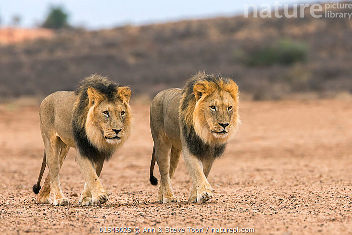 RF - Male lions (Panthera leo) on patrol in the Kalahari, Kgalagadi Transfrontier Park, Northern Cape, South Africa, February 2016. (This image may be licensed either as rights managed or royalty free.)  ,  Animal,Vertebrate,Mammal,Carnivore,Cat,Big cat,Lion,Animalia,Animal,Wildlife,Vertebrate,Mammalia,Mammal,Carnivora,Carnivore,Felidae,Cat,Panthera,Big cat,Panthera leo,Prowling,Walking,Determination,Focus,Stealth,Patrol,Patroling,Patrols,Partnership,Side By Side,Two,Nobody,Serious,Africa,Southern Africa,South Africa,Front View,Male Animal,Day,Nature,Wild,Habitat,Animal Behaviour,Reserve,Lion,Behaviour,Protected area,National Park,Two animals,Negative space,International Parks,Kgalagadi Transfrontier Park,South African,Northern Cape,Focused,Kalahari,Kgalagadi,Pacing,RF,Royalty free,RFCAT1,RF16Q4,  ,  Ann  & Steve Toon