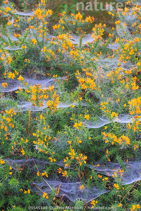 RF - Spider webs covered in dew, on gorse (Ulex), October. (This image may be licensed either as rights managed or royalty free.)  ,  Plant,Vascular plant,Flowering plant,Rosid,Legume,Gorse,Plantae,Plant,Tracheophyta,Vascular plant,Magnoliopsida,Flowering plant,Angiosperm,Seed plant,Spermatophyte,Spermatophytina,Angiospermae,Fabales,Rosid,Dicot,Dicotyledon,Rosanae,Fabaceae,Legume,Pea,Bean,Leguminosae,Ulex,Gorse,Broom,Genisteae,Cytiseae,Hanging,Fragility,Mood,Eerie,Mystery,Colour,Yellow,Nobody,Full Frame,Animal,Gorse Plant,Gorse Plants,Gorses,Flower,Web,Spider's web,Weather,Dew,Autumn,Autumnal,Fall,Day,Backgrounds,Background,Nature,Unspoilt,Untouched,RF,Royalty free,RFCAT1,RF16Q4,  ,  Chris Mattison