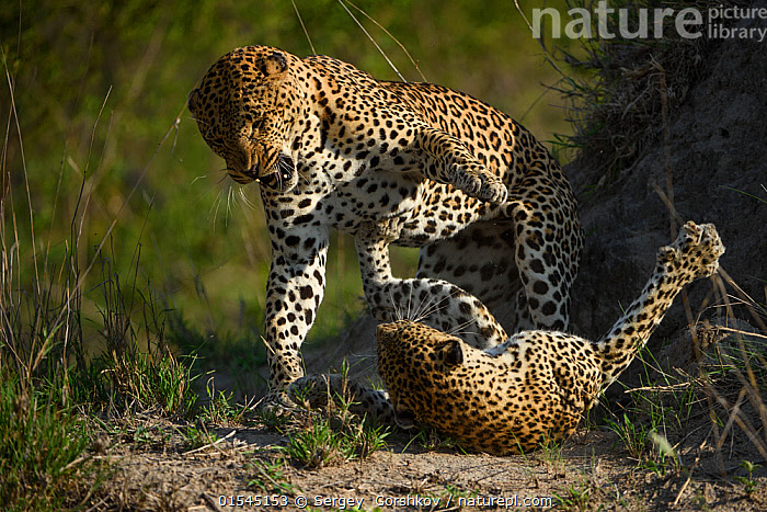 Leopard (Panthera pardus) female fighting off male after he tries to mate with her. Londolozi Private Game Reserve, Sabi Sand Game Reserve, South Africa.  ,  Animal,Wildlife,Vertebrate,Mammal,Carnivore,Cat,Big cat,Leopard,Animalia,Animal,Wildlife,Vertebrate,Mammalia,Mammal,Carnivora,Carnivore,Felidae,Cat,Panthera,Big cat,Panthera pardus,Leopards,Conflict,Two,Africa,Southern Africa,South Africa,Animal Behaviour,Aggression,Fighting,Reserve,Leopard,Male female pair,Protected area,South African,Sabi Sands Game Reserve,Animals,Vertebrates,Chordates,Mammals,Carnivores,Cats,Big cats,Pairs,Reserves,Animal,Wildlife,Vertebrate,Mammal,Carnivore,Cat,Big cat,Leopard,high16  ,  Sergey  Gorshkov
