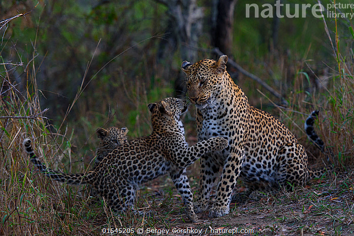 RF -  Leopard (Panthera pardus) playing wither her cubs, Londolozi Private Game Reserve, Sabi Sands Game Reserve, South Africa. (This image may be licensed either as rights managed or royalty free.)  ,  RF16Q4,,Animal,Vertebrate,Mammal,Carnivore,Cat,Big cat,Leopard,Animalia,Animal,Wildlife,Vertebrate,Mammalia,Mammal,Carnivora,Carnivore,Felidae,Cat,Panthera,Big cat,Panthera pardus,Leopards,Patience,Few,Three,Group,Nobody,Pattern,Spotted,Africa,Southern Africa,South Africa,Profile,Side View,Young Animal,Juvenile,Babies,Baby Mammal,Cub,Day,Nature,Wild,Animals In The Wild,Animal In The Wild,Wild Animal,Wild Animals,Animal Behaviour,Playing,Reserve,Leopard,Family,Mother baby,Behaviour,Mother-baby,mother,Protected area,South African,Parent baby,Three Animals,Parenting,Spotted Pattern,RF,Royalty free,RFCAT1,RF16Q4,  ,  Sergey  Gorshkov