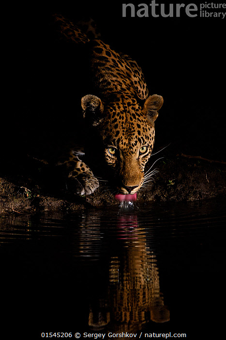 RF -  Leopard (Panthera pardus) drinking, reflected in waterhole,  Londolozi Private Game Reserve, Sabi Sands Game Reserve, South Africa. (This image may be licensed either as rights managed or royalty free.)  ,  RF16Q4,,Animal,Vertebrate,Mammal,Carnivore,Cat,Big cat,Leopard,Vicious,Animalia,Animal,Wildlife,Vertebrate,Mammalia,Mammal,Carnivora,Carnivore,Felidae,Cat,Panthera,Big cat,Panthera pardus,Leopards,Alertness,Threatening,Suspicion,Nobody,Dark,Africa,Southern Africa,South Africa,Close Up,Reflection,Water Hole,Water Holes,Night,Nature,Wild,Animals In The Wild,Animal In The Wild,Wild Animal,Wild Animals,Ferocious,Freshwater,Water,Drinking,Reserve,Leopard,Protected area,Dusk,South African,Vicious,RF,Royalty free,RFCAT1,RF16Q4,  ,  Sergey  Gorshkov
