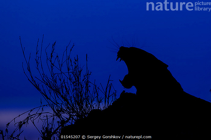 RF -  Silhoutte of Leopard (Panthera pardus) yawning at twilight, Londolozi Private Game Reserve, Sabi Sands Game Reserve, South Africa (This image may be licensed either as rights managed or royalty free.)  ,  RF16Q4,,Animal,Vertebrate,Mammal,Carnivore,Cat,Big cat,Leopard,Animalia,Animal,Wildlife,Vertebrate,Mammalia,Mammal,Carnivora,Carnivore,Felidae,Cat,Panthera,Big cat,Panthera pardus,Leopards,Vocalisation,Calling,Howling,Howl,Yawning,Colour,Blue,Nobody,Vibrant Colour,Africa,Southern Africa,South Africa,Profile,Side View,Back Lit,Mouth,Sky,Twilight,Night,Nature,Wild,Animals In The Wild,Animal In The Wild,Wild Animal,Wild Animals,Animal Behaviour,Reserve,Silhouette,Leopard,Behaviour,Protected area,South African,Blue sky,Open Mouth,Game reserve,RF,Royalty free,RFCAT1,RF16Q4,  ,  Sergey  Gorshkov
