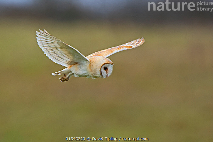 RF - Barn owl (Tyto alba) hunting over meadow. North Norfolk, England, UK. March. (This image may be licensed either as rights managed or royalty free.)  ,  Animal,Vertebrate,Bird,Birds,Owl,Barn owl,Animalia,Animal,Wildlife,Vertebrate,Aves,Bird,Birds,Strigiformes,Owl,Bird of prey,Tytonidae,Tyto,Tyto alba,Barn owl,Western barn owl,Common barn owl,Flying,Alertness,Balance,Ease,Easy,Nobody,Europe,Western Europe,UK,Great Britain,England,Norfolk,Copy Space,Wing,Day,Predator,Predators,Nature,Wild,Animal Behaviour,Predation,Hunting,Behaviour,Wings spread,Wingspan,Negative space,RF,Royalty free,RFCAT1,RF16Q4,  ,  David Tipling
