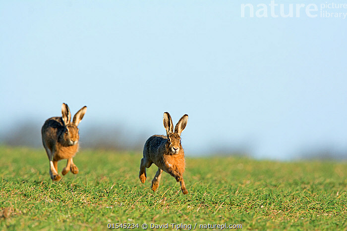 RF - Brown hares (Lepus europaeus) running near Holt Norfolk, England, UK. March. (This image may be licensed either as rights managed or royalty free.)  ,  Animal,Vertebrate,Mammal,Lagomorph,Leporid,Hare,Brown Hare,Animalia,Animal,Wildlife,Vertebrate,Mammalia,Mammal,Lagomorpha,Lagomorph,Leporidae,Leporid,Lepus,Hare,Lepus europaeus,Brown Hare,European Brown Hare,European Hare,Eulagos europaeus,Running,Courting,Competition,Energetic,Excitement,Enthusiasm,Enthusiastic,Excited,On The Move,Rivalry,Rival,Rivals,Speed,Side By Side,Two,Nobody,Europe,Western Europe,UK,Great Britain,England,Norfolk,Copy Space,Front View,Plant,Grass Family,Grass,Grasses,Cultivated Land,Day,Nature,Wild,Racing,Animal Behaviour,Mating Behaviour,Courtship,Behaviour,Farmland,Two animals,Negative space,Moving,RF,Royalty free,RFCAT1,RF16Q4,  ,  David Tipling