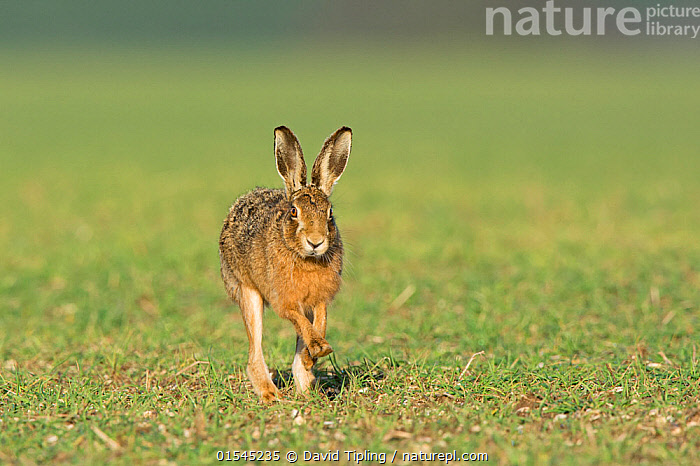 RF - Brown hare (Lepus europaeus) running near Holt, Norfolk, England, UK. March. (This image may be licensed either as rights managed or royalty free.)  ,  Animal,Vertebrate,Mammal,Lagomorph,Leporid,Hare,Brown Hare,Animalia,Animal,Wildlife,Vertebrate,Mammalia,Mammal,Lagomorpha,Lagomorph,Leporidae,Leporid,Lepus,Hare,Lepus europaeus,Brown Hare,European Brown Hare,European Hare,Eulagos europaeus,Running,Alertness,Focus,Direction,On The Move,Nobody,Europe,Western Europe,UK,Great Britain,England,Norfolk,Copy Space,Front View,Plant,Grass Family,Grass,Grasses,Cultivated Land,Day,Nature,Wild,Farmland,Negative space,Moving,Purpose,Focused,RF,Royalty free,RFCAT1,RF16Q4,  ,  David Tipling
