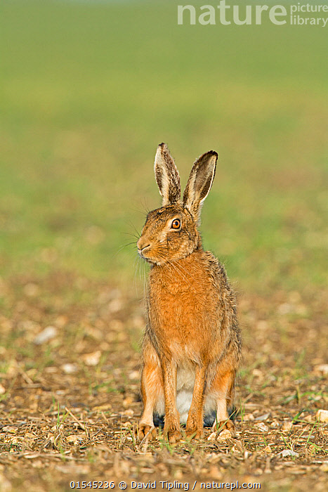 RF - Brown hare (Lepus europaeus) sitting looking away. Near Holt, Norfolk, England, UK. March. (This image may be licensed either as rights managed or royalty free.)  ,  Animal,Vertebrate,Mammal,Lagomorph,Leporid,Hare,Brown Hare,Animalia,Animal,Wildlife,Vertebrate,Mammalia,Mammal,Lagomorpha,Lagomorph,Leporidae,Leporid,Lepus,Hare,Lepus europaeus,Brown Hare,European Brown Hare,European Hare,Eulagos europaeus,Sitting,Hearing,Hear,Listening,Listen,Glance,Glances,Glancing,Look Away,Looks Away,Alertness,Nobody,Europe,Western Europe,UK,Great Britain,England,Norfolk,Copy Space,Front View,Day,Nature,Wild,Negative space,Using Senses,Aware,RF,Royalty free,RFCAT1,RF16Q4,  ,  David Tipling