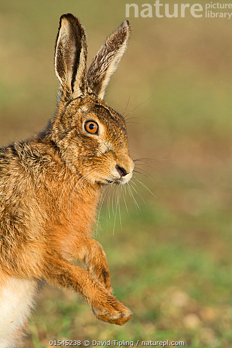 RF - Brown hare (Lepus europaeus) head portrait near Holt, Norfolk, England, UK. March. (This image may be licensed either as rights managed or royalty free.)  ,  Animal,Vertebrate,Mammal,Lagomorph,Leporid,Hare,Brown Hare,Animalia,Animal,Wildlife,Vertebrate,Mammalia,Mammal,Lagomorpha,Lagomorph,Leporidae,Leporid,Lepus,Hare,Lepus europaeus,Brown Hare,European Brown Hare,European Hare,Eulagos europaeus,Standing,Alertness,Suspicion,Nobody,Europe,Western Europe,UK,Great Britain,England,Norfolk,Profile,Side View,Day,Nature,Wild,Standing on hind legs,Negative space,Using Senses,RF,Royalty free,RFCAT1,RF16Q4,  ,  David Tipling