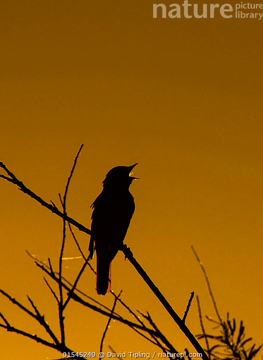 RF - Nightingale (Luscinia megarhynchos) in song, silhouetted, Camargue, Provence, France. May.  ,  Animal,Vertebrate,Bird,Birds,Songbird,Old world flycatcher,Chat,Nightingale,Animalia,Animal,Wildlife,Vertebrate,Aves,Bird,Birds,Passeriformes,Songbird,Passerine,Muscicapidae,Old world flycatcher,Flycatcher,Luscinia,Chat,Chat thrush,Saxicolinae,Luscinia megarhynchos,Nightingale,Common nightingale,Rufous nightingale,Western nightingale,Vocalisation,Sing,Effort,Exertion,Trying,Lost,Colour,Yellow,Nobody,Europe,Western Europe,France,Provence Alpes Cote D'Azur,Provence,Bouches Du Rhone,Bouches-Du-Rhne,Bouches-Du-Rhone,Coloured Background,Yellow Background,Copy Space,Back Lit,Plant,Twig,Sprig,Sprigs,Twigs,Night,Day,Nature,Wild,Animal Behaviour,Silhouette,Behaviour,Dusk,Negative space,Disorientated,Camargue,RF,Royalty free,RFCAT1,RF16Q4,  ,  David Tipling