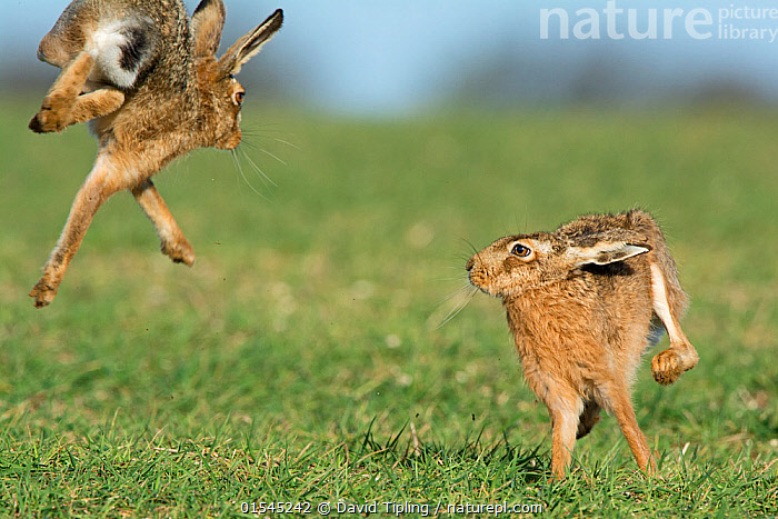 RF - Brown hares (Lepus europaeus) boxing near Holt, Norfolk, England. UK. March. (This image may be licensed either as rights managed or royalty free.)  ,  Animal,Vertebrate,Mammal,Lagomorph,Leporid,Hare,Brown Hare,Animalia,Animal,Wildlife,Vertebrate,Mammalia,Mammal,Lagomorpha,Lagomorph,Leporidae,Leporid,Lepus,Hare,Lepus europaeus,Brown Hare,European Brown Hare,European Hare,Eulagos europaeus,Jumping,Courting,Agility,Agile,Rivalry,Rival,Rivals,Joy,Colour,Brown,Mid Air,Two,Nobody,Europe,Western Europe,UK,Great Britain,England,Norfolk,Day,Nature,Wild,Boxing,Spar,Sparring,Spars,Animal Behaviour,Mating Behaviour,Courtship,Playing,Behaviour,Two animals,RF,Royalty free,RFCAT1,RF16Q4,  ,  David Tipling