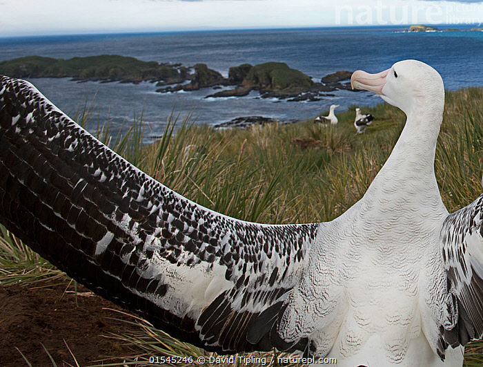 RF - Wandering albatross (Diomedea exulans) displaying on Albatross Island, Bay of Isles, South Georgia. January 2015. (This image may be licensed either as rights managed or royalty free.)  ,  Animal,Vertebrate,Bird,Birds,Tubenose,Albatross,Wandering albatross,Animalia,Animal,Wildlife,Vertebrate,Aves,Bird,Birds,Procellariiformes,Tubenose,Tubinare,Seabird,Diomedeidae,Albatross,Diomedea,Diomedea exulans,Wandering albatross,Snowy albatross,White winged albatross,Showing Off,Attention Seeking,Seeking Attention,Few,Three,Group,Nobody,Rear View,Camera Focus,Selective Focus,Focus On Foreground,Wing,Island,Islands,Landscape,Day,Nature,Wild,Coast,Marine,Coastal,Water,Habitat,Animal Behaviour,Display,Behaviour,Saltwater,Sea,Subantarctic islands,South Georgia Island,Wings spread,Wingspan,Shallow depth of field,Low depth of field,Surveying,Survey,Three Animals,RF,Royalty free,RFCAT1,Albatross Island,RF16Q4,Seabird,Seabirds,Marine bird,Marine birds,Pelagic bird,Pelagic birds,Endangered species,threatened,Vulnerable  ,  David Tipling