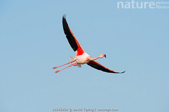RF - Greater flamingo (Phoenicopterus roseus) in flight. Camargue, Provence, France. May. (This image may be licensed either as rights managed or royalty free.)  ,  Animal,Vertebrate,Bird,Birds,Flamingo,Greater flamingo,Animalia,Animal,Wildlife,Vertebrate,Aves,Bird,Birds,Phoenicopteriformes,Flamingo,Phoenicopteridae,Phoenicopterus,Phoenicopterus roseus,Greater flamingo,Flying,Direction,On The Move,Nobody,Europe,Western Europe,France,Provence Alpes Cote D'Azur,Provence,Bouches Du Rhone,Bouches-Du-Rhne,Bouches-Du-Rhone,Copy Space,Wing,Sky,Clear Sky,Day,Nature,Wild,Ventral view,Underside,Wings spread,Wingspan,Negative space,Moving,Blue sky,Gliding,Purpose,Camargue,RF,Royalty free,RFCAT1,RF16Q4,  ,  David Tipling