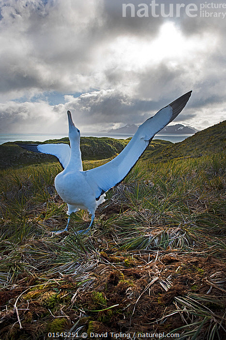 RF - Wandering albatross (Diomeda exulans) displaying. Albatross Island, Bay of Isles, South Georgia. January 2015. (This image may be licensed either as rights managed or royalty free.)  ,  Praying,Pray,Prayer,Prayers,Worship,Worshipping,Head Back,Head Cocked,Standing,Courting,Hope,Nobody,Animal,Wing,Island,Islands,Sky,Cloud,Weather,Overcast,Landscape,Day,Nature,Wildlife,Wild,Coast,Coastal,Habitat,Animal Behaviour,Mating Behaviour,Courtship,Display,Behaviour,Subantarctic islands,South Georgia Island,Wings spread,Wingspan,RF,Royalty free,RFCAT1,Albatross Island,RF16Q4,  ,  David Tipling