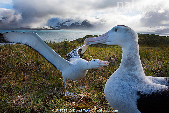 RF - Wandering albatross (Diomedea exulans) pair displaying, Albatross Island, Bay of Isles, South Georgia. January 2015. (This image may be licensed either as rights managed or royalty free.)  ,  Animal,Vertebrate,Bird,Birds,Tubenose,Albatross,Wandering albatross,Animalia,Animal,Wildlife,Vertebrate,Aves,Bird,Birds,Procellariiformes,Tubenose,Tubinare,Seabird,Diomedeidae,Albatross,Diomedea,Diomedea exulans,Wandering albatross,Snowy albatross,White winged albatross,Playing,Showing Off,Attention Seeking,Seeking Attention,Greeting,Courting,Friendship,Subservience,Subservient,Two,Nobody,Meeting,Wing,Island,Islands,Landscape,Day,Nature,Wild,Marine,Water,Habitat,Animal Behaviour,Mating Behaviour,Courtship,Display,Behaviour,Saltwater,Sea,Subantarctic islands,South Georgia Island,Wings spread,Wingspan,Two animals,Messing About,RF,Royalty free,RFCAT1,Albatross Island,RF16Q4,Seabird,Seabirds,Marine bird,Marine birds,Pelagic bird,Pelagic birds,Endangered species,threatened,Vulnerable  ,  David Tipling