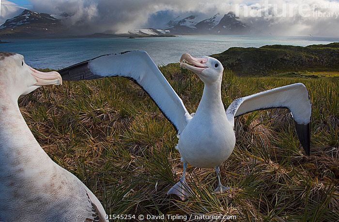 RF - Wandering albatross (Diomedea exulans) pair displaying. Albatross Island, Bay of Isles, South Georgia. January 2015. (This image may be licensed either as rights managed or royalty free.)  ,  Animal,Vertebrate,Bird,Birds,Tubenose,Albatross,Wandering albatross,Animalia,Animal,Wildlife,Vertebrate,Aves,Bird,Birds,Procellariiformes,Tubenose,Tubinare,Seabird,Diomedeidae,Albatross,Diomedea,Diomedea exulans,Wandering albatross,Snowy albatross,White winged albatross,Greeting,Courting,Enjoyment,Friendship,Face To Face,Two,Nobody,Meeting,Close Up,Wing,Island,Islands,Landscape,Day,Nature,Wild,Marine,Water,Habitat,Animal Behaviour,Mating Behaviour,Courtship,Display,Behaviour,Saltwater,Sea,Subantarctic islands,South Georgia Island,Wings spread,Wingspan,Two animals,RF,Royalty free,RFCAT1,Albatross Island,RF16Q4,Seabird,Seabirds,Marine bird,Marine birds,Pelagic bird,Pelagic birds,Endangered species,threatened,Vulnerable  ,  David Tipling