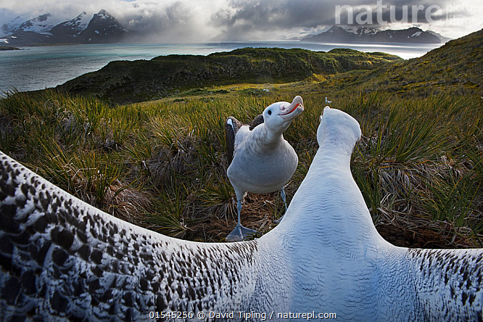 RF - Wandering albatross (Diomedea exulans) pair displaying, Albatross Island, Bay of Isles, South Georgia. January 2015. (This image may be licensed either as rights managed or royalty free.)  ,  Animal,Vertebrate,Bird,Birds,Tubenose,Albatross,Wandering albatross,Animalia,Animal,Wildlife,Vertebrate,Aves,Bird,Birds,Procellariiformes,Tubenose,Tubinare,Seabird,Diomedeidae,Albatross,Diomedea,Diomedea exulans,Wandering albatross,Snowy albatross,White winged albatross,Stretching,Courting,Uncertain,Unsure,Colour,White,Face To Face,Two,Nobody,Close Up,Rear View,Beak,Wing,Island,Islands,Landscape,Day,Nature,Wild,Marine,Water,Habitat,Animal Behaviour,Mating Behaviour,Courtship,Display,Behaviour,Saltwater,Sea,Subantarctic islands,South Georgia Island,Wings spread,Wingspan,Two animals,Personal point of view,Personal POV,RF,Royalty free,RFCAT1,Albatross Island,RF16Q4,Seabird,Seabirds,Marine bird,Marine birds,Pelagic bird,Pelagic birds,Endangered species,threatened,Vulnerable  ,  David Tipling