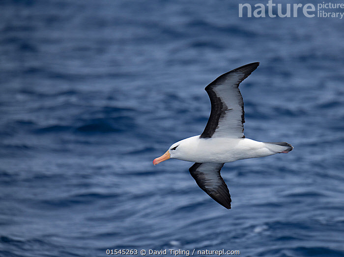 RF - Black-browed albatross (Thalassarche melanophris) in flight, South Atlantic, South Georgia. January. (This image may be licensed either as rights managed or royalty free.)  ,  Animal,Vertebrate,Bird,Birds,Tubenose,Albatross,Black browed albatross,Animalia,Animal,Wildlife,Vertebrate,Aves,Bird,Birds,Procellariiformes,Tubenose,Tubinare,Seabird,Diomedeidae,Albatross,Thalassarche,Thalassarche melanophrys,Black browed albatross,Black browed mollymawk,Diomedea melanophris,Thalassarche melanophris,Diomedea melanophrys,Flying,Determination,Focus,Direction,Mood,Ominous,Foreboding,Nobody,Side View,Wing,Ocean,Atlantic Ocean,Day,Nature,Wild,Marine,Water,Saltwater,Sea,Subantarctic islands,South Georgia Island,Wings spread,Wingspan,Negative space,Purpose,Focused,South Atlantic,Southern ocean,RF,Royalty free,RFCAT1,RF16Q4,Seabird,Seabirds,Marine bird,Marine birds,Pelagic bird,Pelagic birds,Endangered species,threatened,Endangered  ,  David Tipling