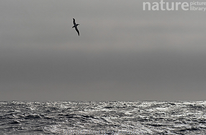 RF - Wandering albatross (Diomedea exulans) silhouetted above Southern Ocean, South Georgia. January. (This image may be licensed either as rights managed or royalty free.)  ,  Animal,Vertebrate,Bird,Birds,Tubenose,Albatross,Wandering albatross,Animalia,Animal,Wildlife,Vertebrate,Aves,Bird,Birds,Procellariiformes,Tubenose,Tubinare,Seabird,Diomedeidae,Albatross,Diomedea,Diomedea exulans,Wandering albatross,Snowy albatross,White winged albatross,Flying,Mood,Ominous,Foreboding,Alone,Solitude,Solitary,Colour,Grey,Above,Nobody,Shiny,Shimmer,Copy Space,Black And White,B/W,Monochromatic,Back Lit,Horizon,Horizon Over Water,Sky,Ocean,Atlantic Ocean,Day,Nature,Wild,Marine,Water Surface,Water,Silhouette,Saltwater,Sea,Subantarctic islands,South Georgia Island,Negative space,South Atlantic,Southern ocean,RF,Royalty free,RFCAT1,RF16Q4,Seabird,Seabirds,Marine bird,Marine birds,Pelagic bird,Pelagic birds,Endangered species,threatened,Vulnerable  ,  David Tipling