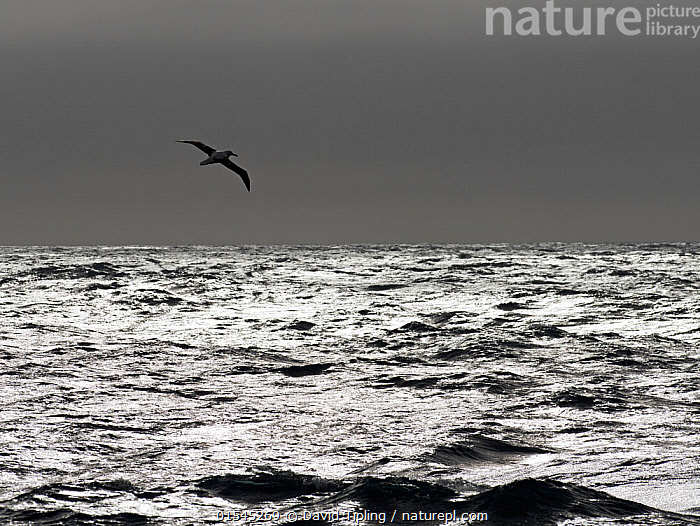 RF - Wandering albatross (Diomedea exulans) silhouetted above Southern Ocean, South Georgia. January. (This image may be licensed either as rights managed or royalty free.)  ,  Animal,Vertebrate,Bird,Birds,Tubenose,Albatross,Wandering albatross,Animalia,Animal,Wildlife,Vertebrate,Aves,Bird,Birds,Procellariiformes,Tubenose,Tubinare,Seabird,Diomedeidae,Albatross,Diomedea,Diomedea exulans,Wandering albatross,Snowy albatross,White winged albatross,Flying,Mood,Ominous,Foreboding,Alone,Sinister,Solitude,Solitary,Colour,Grey,Above,Nobody,Dark,Shiny,Shimmer,Copy Space,Black And White,B/W,Monochromatic,Horizon,Horizon Over Water,Sky,Ocean,Atlantic Ocean,Day,Nature,Wild,Marine,Water Surface,Water,Saltwater,Sea,Subantarctic islands,South Georgia Island,Negative space,South Atlantic,Southern ocean,RF,Royalty free,RFCAT1,RF16Q4,Seabird,Seabirds,Marine bird,Marine birds,Pelagic bird,Pelagic birds,Endangered species,threatened,Vulnerable  ,  David Tipling