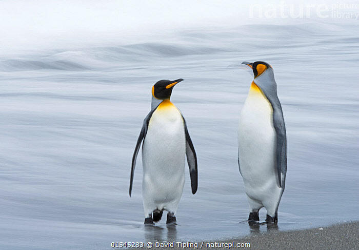RF - King penguin (Aptenodytes patagonicus) pair standing at waters edge. Salisbury Plain, South Georgia. January. (This image may be licensed either as rights managed or royalty free.)  ,  Animal,Vertebrate,Bird,Birds,Penguin,King penguin,Animalia,Animal,Wildlife,Vertebrate,Aves,Bird,Birds,Sphenisciformes,Penguin,Seabird,Spheniscidae,Aptenodytes,Aptenodytes patagonicus,King penguin,Standing,Advice,Advise,Advising,Decisions,Guilt,Guilty,Regret,Regretfulness,Regrets,Partnership,Face To Face,Two,Nobody,Wet,Beach,Sands,Ocean,Atlantic Ocean,Water's Edge,Day,Nature,Wild,Coast,Marine,Coastal,Water,Saltwater,Subantarctic islands,South Georgia Island,Two animals,Negative space,South Atlantic,Southern ocean,RF,Royalty free,RFCAT1,Salisbury Plain,RF16Q4,Marine bird,Marine birds,Pelagic bird,Pelagic birds,Flightless  ,  David Tipling