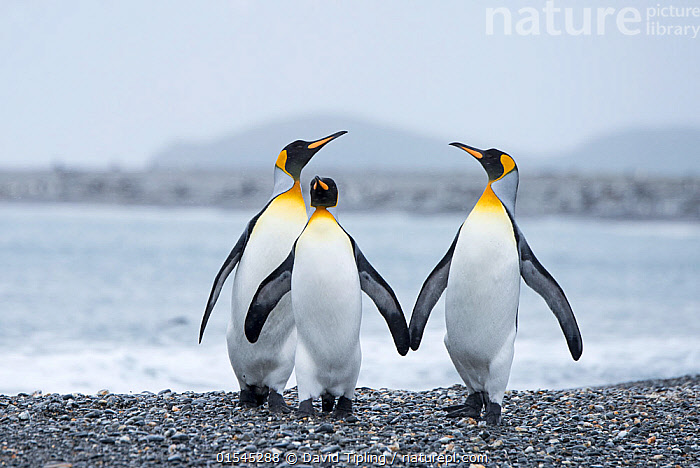 RF - King penguin (Aptenodytes patagonicus) group of three. Salisbury Plain, South Georgia. January. (This image may be licensed either as rights managed or royalty free.)  ,  Animal,Vertebrate,Bird,Birds,Penguin,King penguin,Animalia,Animal,Wildlife,Vertebrate,Aves,Bird,Birds,Sphenisciformes,Penguin,Seabird,Spheniscidae,Aptenodytes,Aptenodytes patagonicus,King penguin,Oversee,Overseeing,Oversees,Supervise,Supervises,Supervision,Walking,Confidence,Pride,Proud,Satisfaction,Smugness,Togetherness,Unity,Side By Side,Few,Three,Group,Nobody,Front View,Beach,Ocean,Atlantic Ocean,Water's Edge,Day,Nature,Wild,Coast,Marine,Coastal,Water,Saltwater,Sea,Subantarctic islands,South Georgia Island,Three Animals,Haughty,South Atlantic,Southern ocean,RF,Royalty free,RFCAT1,Salisbury Plain,RF16Q4,Marine bird,Marine birds,Pelagic bird,Pelagic birds,Flightless  ,  David Tipling