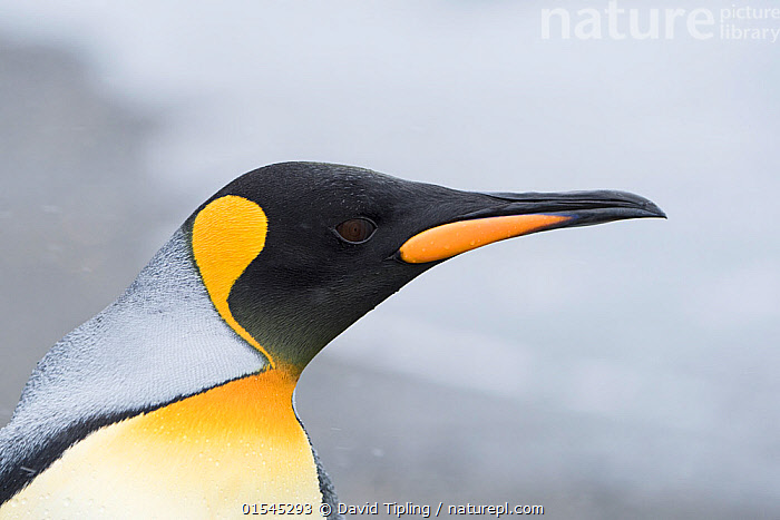 RF - King penguin (Aptenodytes patagonicus) head portrait. Salisbury Plain, South Georgia. January. (This image may be licensed either as rights managed or royalty free.)  ,  Animal,Vertebrate,Bird,Birds,Penguin,King penguin,Animalia,Animal,Wildlife,Vertebrate,Aves,Bird,Birds,Sphenisciformes,Penguin,Seabird,Spheniscidae,Aptenodytes,Aptenodytes patagonicus,King penguin,Alertness,Focus,Colour,Black,Yellow,Nobody,Copy Space,Profile,Close Up,Side View,Beak,Day,Nature,Wild,Subantarctic islands,South Georgia Island,Negative space,Focused,RF,Royalty free,RFCAT1,Salisbury Plain,RF16Q4,Marine bird,Marine birds,Pelagic bird,Pelagic birds,Flightless  ,  David Tipling