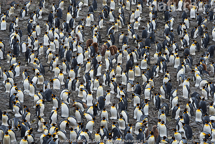 RF - King penguin (Aptenodytes patagonicus) colony. Salisbury Plain, South Georgia. January. (This image may be licensed either as rights managed or royalty free.)  ,  Animal,Vertebrate,Bird,Birds,Penguin,King penguin,Animalia,Animal,Wildlife,Vertebrate,Aves,Bird,Birds,Sphenisciformes,Penguin,Seabird,Spheniscidae,Aptenodytes,Aptenodytes patagonicus,King penguin,Confusion,Dilemma,Togetherness,Indecisive,Group Of Animals,Animal Colony,Group,Large Group,Nobody,Full Frame,High Angle View,Day,Backgrounds,Background,Nature,Wild,Multitude,Subantarctic islands,South Georgia Island,Elevated view,Safety in Numbers,Crowded,RF,Royalty free,RFCAT1,Salisbury Plain,RF16Q4,Marine bird,Marine birds,Pelagic bird,Pelagic birds,Flightless  ,  David Tipling