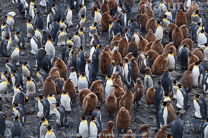 RF - King penguin (Aptenodytes patagonicus) colony with chicks. Salisbury Plain, South Georgia. January. (This image may be licensed either as rights managed or royalty free.)  ,  Animal,Vertebrate,Bird,Birds,Penguin,King penguin,Animalia,Animal,Wildlife,Vertebrate,Aves,Bird,Birds,Sphenisciformes,Penguin,Seabird,Spheniscidae,Aptenodytes,Aptenodytes patagonicus,King penguin,Confusion,Variation,Group Of Animals,Animal Colony,Group,Large Group,Nobody,Full Frame,High Angle View,Young Animal,Juvenile,Babies,Chick,Day,Backgrounds,Background,Nature,Wild,Multitude,Subantarctic islands,South Georgia Island,Elevated view,Crowded,RF,Royalty free,RFCAT1,Salisbury Plain,RF16Q4,Marine bird,Marine birds,Pelagic bird,Pelagic birds,Flightless  ,  David Tipling