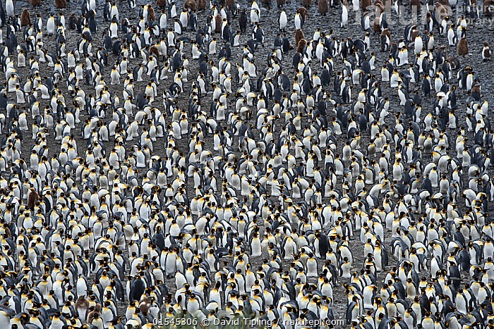 RF - King penguin (Aptenodytes patagonicus) colony. Salisbury Plain, South Georgia. January. (This image may be licensed either as rights managed or royalty free.)  ,  Animal,Vertebrate,Bird,Birds,Penguin,King penguin,Animalia,Animal,Wildlife,Vertebrate,Aves,Bird,Birds,Sphenisciformes,Penguin,Seabird,Spheniscidae,Aptenodytes,Aptenodytes patagonicus,King penguin,Busy,Confusion,Group,Large Group,Nobody,Full Frame,High Angle View,Day,Backgrounds,Background,Nature,Wild,Multitude,Subantarctic islands,South Georgia Island,Elevated view,Crowded,RF,Royalty free,RFCAT1,Salisbury Plain,RF16Q4,Marine bird,Marine birds,Pelagic bird,Pelagic birds,Flightless  ,  David Tipling