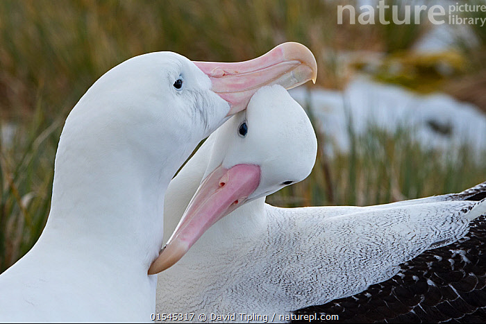 RF - Wandering albatross (Diomedea exulans) pair preening. Albatross Island, South Georgia. January. (This image may be licensed either as rights managed or royalty free.)  ,  Animal,Vertebrate,Bird,Birds,Tubenose,Albatross,Wandering albatross,Animalia,Animal,Wildlife,Vertebrate,Aves,Bird,Birds,Procellariiformes,Tubenose,Tubinare,Seabird,Diomedeidae,Albatross,Diomedea,Diomedea exulans,Wandering albatross,Snowy albatross,White winged albatross,Grooming,Preen,Preens,Courting,Colour,White,Two,Nobody,Affectionate,Affection,Close Up,Beak,Day,Nature,Wild,Animal Behaviour,Mating Behaviour,Courtship,Display,Behaviour,Subantarctic islands,South Georgia Island,Two animals,RF,Royalty free,RFCAT1,Albatross Island,RF16Q4,Seabird,Seabirds,Marine bird,Marine birds,Pelagic bird,Pelagic birds,Endangered species,threatened,Vulnerable  ,  David Tipling