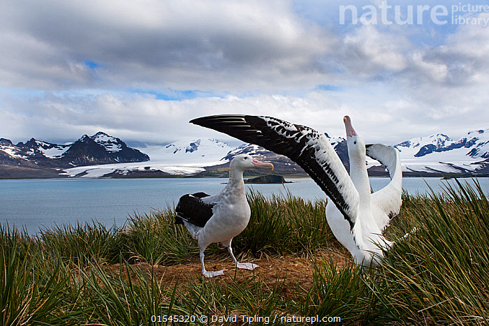 RF - Wandering albatross (Diomedea exulans) pair displaying, Albatross Island, South Georgia. January 2015. (This image may be licensed either as rights managed or royalty free.)  ,  Animal,Vertebrate,Bird,Birds,Tubenose,Albatross,Wandering albatross,Animalia,Animal,Wildlife,Vertebrate,Aves,Bird,Birds,Procellariiformes,Tubenose,Tubinare,Seabird,Diomedeidae,Albatross,Diomedea,Diomedea exulans,Wandering albatross,Snowy albatross,White winged albatross,Showing Off,Attention Seeking,Seeking Attention,Courting,Face To Face,Two,Nobody,Snow,Ocean,Atlantic Ocean,Day,Nature,Wild,Coast,Marine,Coastal,Water,Animal Behaviour,Mating Behaviour,Courtship,Display,Behaviour,Saltwater,Sea,Subantarctic islands,South Georgia Island,Two animals,South Atlantic,Southern ocean,RF,Royalty free,RFCAT1,Albatross Island,RF16Q4,Seabird,Seabirds,Marine bird,Marine birds,Pelagic bird,Pelagic birds,Endangered species,threatened,Vulnerable  ,  David Tipling