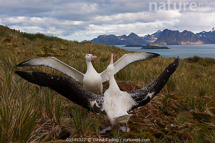 RF - Wandering albatross (Diomedea exulans), pair displaying, Albatross Island, South Georgia, January 2015. (This image may be licensed either as rights managed or royalty free.)  ,  Animal,Vertebrate,Bird,Birds,Tubenose,Albatross,Wandering albatross,Animalia,Animal,Wildlife,Vertebrate,Aves,Bird,Birds,Procellariiformes,Tubenose,Tubinare,Seabird,Diomedeidae,Albatross,Diomedea,Diomedea exulans,Wandering albatross,Snowy albatross,White winged albatross,Courting,Face To Face,Two,Nobody,Wing,Landscape,Day,Nature,Wild,Coast,Marine,Coastal,Water,Animal Behaviour,Mating Behaviour,Courtship,Display,Behaviour,Saltwater,Sea,Subantarctic islands,South Georgia Island,Wings spread,Wingspan,Two animals,RF,Royalty free,RFCAT1,Albatross Island,RF16Q4,Seabird,Seabirds,Marine bird,Marine birds,Pelagic bird,Pelagic birds,Endangered species,threatened,Vulnerable  ,  David Tipling
