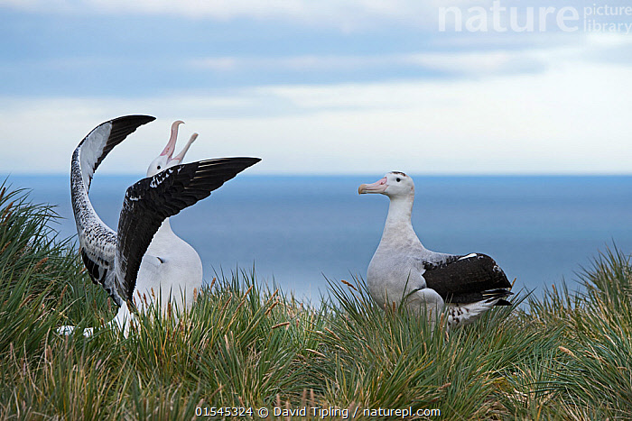 RF - Wandering albatross (Diomedea exulans) pair displaying. Albatross Island, South Georgia. January. (This image may be licensed either as rights managed or royalty free.)  ,  Animal,Vertebrate,Bird,Birds,Tubenose,Albatross,Wandering albatross,Animalia,Animal,Wildlife,Vertebrate,Aves,Bird,Birds,Procellariiformes,Tubenose,Tubinare,Seabird,Diomedeidae,Albatross,Diomedea,Diomedea exulans,Wandering albatross,Snowy albatross,White winged albatross,Showing Off,Attention Seeking,Seeking Attention,Head Back,Head Cocked,Courting,Face To Face,Two,Nobody,Wing,Day,Nature,Wild,Coast,Marine,Coastal,Water,Animal Behaviour,Mating Behaviour,Courtship,Display,Behaviour,Saltwater,Sea,Subantarctic islands,South Georgia Island,Wings spread,Wingspan,Two animals,RF,Royalty free,RFCAT1,Albatross Island,RF16Q4,Seabird,Seabirds,Marine bird,Marine birds,Pelagic bird,Pelagic birds,Endangered species,threatened,Vulnerable  ,  David Tipling
