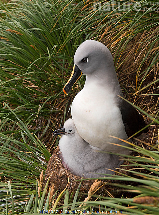 RF - Grey-headed albatross (Thalassarche chrysostoma) adult brooding chick in colony at Elsehul, South Georgia. January. (This image may be licensed either as rights managed or royalty free.)  ,  Animal,Vertebrate,Bird,Birds,Tubenose,Albatross,Grey headed albatross,Animalia,Animal,Wildlife,Vertebrate,Aves,Bird,Birds,Procellariiformes,Tubenose,Tubinare,Seabird,Diomedeidae,Albatross,Thalassarche,Thalassarche chrysostoma,Grey headed albatross,Flat billed albatross,Gould's albatross,Grey mantled albatross,Grey headed mollymawk,Diomedea chrysostoma,Disciplined,Colour,White,Below,Beneath,Under,Underneath,Two,Nobody,Profile,Close Up,Side View,Young Animal,Juvenile,Babies,Chick,Animal Home,Nest,Day,Nature,Wild,Animal Behaviour,Brooding,Parental behaviour,Adult,Behaviour,Parental,Subantarctic islands,South Georgia Island,Two animals,RF,Royalty free,RFCAT1,RF16Q4,Seabird,Seabirds,Marine bird,Marine birds,Pelagic bird,Pelagic birds,Endangered species,threatened,Vulnerable  ,  David Tipling