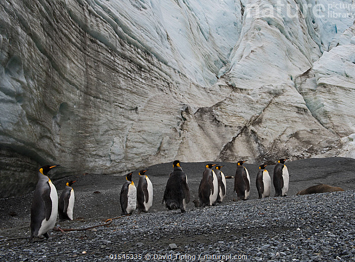 RF - King penguins (Aptenodytes patagonicus) below Schrader Glacier, South Georgia. January 2015. (This image may be licensed either as rights managed or royalty free.)  ,  Animal,Vertebrate,Bird,Birds,Penguin,King penguin,Animalia,Animal,Wildlife,Vertebrate,Aves,Bird,Birds,Sphenisciformes,Penguin,Seabird,Spheniscidae,Aptenodytes,Aptenodytes patagonicus,King penguin,Standing,Confusion,Dilemma,Togetherness,Indecisive,Lost,Group,Medium Group,Nobody,Ice,Glacier,Glacial,Glaciers,Day,Nature,Wild,Subantarctic islands,South Georgia Island,Medium group of animals,Disorientated,RF,Royalty free,RFCAT1,Schrader Glacier,RF16Q4,Marine bird,Marine birds,Pelagic bird,Pelagic birds,Flightless  ,  David Tipling