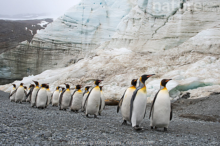 RF - King penguins (Aptenodytes patagonicus) below Schrader Glacier, South Georgia. January 2015. (This image may be licensed either as rights managed or royalty free.)  ,  Animal,Vertebrate,Bird,Birds,Penguin,King penguin,Animalia,Animal,Wildlife,Vertebrate,Aves,Bird,Birds,Sphenisciformes,Penguin,Seabird,Spheniscidae,Aptenodytes,Aptenodytes patagonicus,King penguin,Marching,Following,Follow,Follows,Walking,Journey,Togetherness,Lost,Group,Large Group,Nobody,Ice,Glacier,Glacial,Glaciers,Day,Nature,Wild,Habitat,Subantarctic islands,South Georgia Island,Moving,Disorientated,RF,Royalty free,RFCAT1,Schrader Glacier,RF16Q4,Marine bird,Marine birds,Pelagic bird,Pelagic birds,Flightless  ,  David Tipling