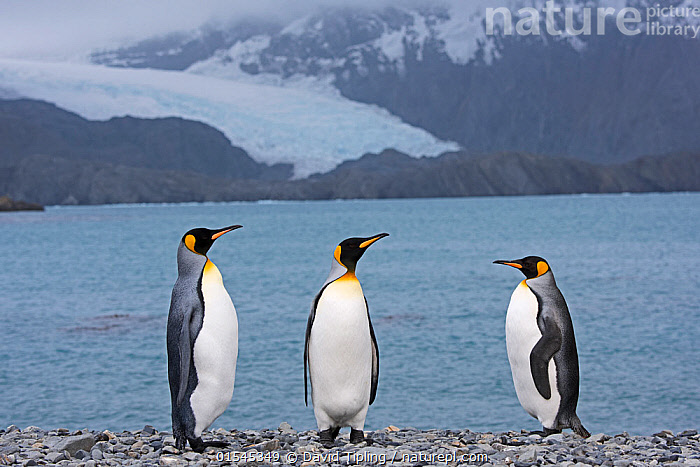 RF - King penguins (Aptenodytes patagonicus) standing on beach by sea. Holmestrand, South Georgia. January 2015. (This image may be licensed either as rights managed or royalty free.)  ,  Animal,Vertebrate,Bird,Birds,Penguin,King penguin,Animalia,Animal,Wildlife,Vertebrate,Aves,Bird,Birds,Sphenisciformes,Penguin,Seabird,Spheniscidae,Aptenodytes,Aptenodytes patagonicus,King penguin,Standing,Decisions,Confronting,Confronts,Justice,Fairness,Impartial,Impartiality,Hierarchies,Few,Three,Group,Nobody,Legal Event,Interrogation,Full Length,Beach,Snow,Landscape,Day,Nature,Wild,Coast,Coastal,Subantarctic islands,South Georgia Island,Three Animals,RF,Royalty free,RFCAT1,Holmestrand,RF16Q4,Marine bird,Marine birds,Pelagic bird,Pelagic birds,Flightless  ,  David Tipling