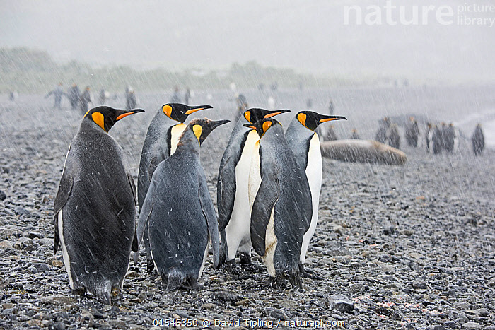 RF - King penguins (Aptenodytes patagonicus) on beach in rain. Holmestrand, South Georgia. January. (This image may be licensed either as rights managed or royalty free.)  ,  Animal,Vertebrate,Bird,Birds,Penguin,King penguin,Animalia,Animal,Wildlife,Vertebrate,Aves,Bird,Birds,Sphenisciformes,Penguin,Seabird,Spheniscidae,Aptenodytes,Aptenodytes patagonicus,King penguin,Standing,Waiting,Resilience,Resilient,Gang,Gang Member,Gang Members,Gangs,Rebellion,Togetherness,Group,Medium Group,Nobody,Wet,Temperature,Cold,Sulking,Beach,Sleet,Weather,Raining,Rain,Day,Nature,Wild,Coast,Coastal,Bad Weather,Severe weather,Subantarctic islands,South Georgia Island,Medium group of animals,RF,Royalty free,RFCAT1,Holmestrand,RF16Q4,Marine bird,Marine birds,Pelagic bird,Pelagic birds,Flightless  ,  David Tipling