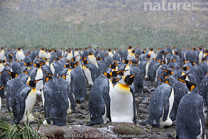 RF - King penguins (Aptenodytes patagonicus) in snow. Holmestrand, South Georgia. January. (This image may be licensed either as rights managed or royalty free.)  ,  Animal,Vertebrate,Bird,Birds,Penguin,King penguin,Animalia,Animal,Wildlife,Vertebrate,Aves,Bird,Birds,Sphenisciformes,Penguin,Seabird,Spheniscidae,Aptenodytes,Aptenodytes patagonicus,King penguin,Standing,Waiting,Togetherness,Group,Large Group,Nobody,Wet,Temperature,Cold,Copy Space,Weather,Snowing,Snowfall,Day,Nature,Wild,Bad Weather,Severe weather,Subantarctic islands,South Georgia Island,Negative space,Fed up,RF,Royalty free,RFCAT1,Holmestrand,RF16Q4,Marine bird,Marine birds,Pelagic bird,Pelagic birds,Flightless  ,  David Tipling