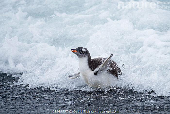 RF - Gentoo penguin (Pygoscelis papua) chick in surf. Holmestrand, South Georgia. January. (This image may be licensed either as rights managed or royalty free.)  ,  Animal,Vertebrate,Bird,Birds,Penguin,Gentoo penguin,Animalia,Animal,Wildlife,Vertebrate,Aves,Bird,Birds,Sphenisciformes,Penguin,Seabird,Spheniscidae,Pygoscelis,Pygoscelis papua,Gentoo penguin,Concentrate,Concentrated,Concentrating,Concentration,Adversity,Difficult,Difficulty,Cute,Adorable,Nobody,Young Animal,Juvenile,Babies,Chick,Water's Edge,Wave,Breaker,Breakers,Day,Nature,Wild,Marine,Water,Animal Behaviour,Playing,Behaviour,Saltwater,Sea,Subantarctic islands,South Georgia Island,Surfing,RF,Royalty free,RFCAT1,Holmestrand,RF16Q4,Marine bird,Marine birds,Pelagic bird,Pelagic birds,Flightless  ,  David Tipling
