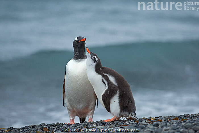 RF - Gentoo penguin (Pygoscelis papua) adult with begging chick, Holmestrand, South Georgia, January. (This image may be licensed either as rights managed or royalty free.)  ,  Animal,Vertebrate,Bird,Birds,Penguin,Gentoo penguin,Animalia,Animal,Wildlife,Vertebrate,Aves,Bird,Birds,Sphenisciformes,Penguin,Seabird,Spheniscidae,Pygoscelis,Pygoscelis papua,Gentoo penguin,Ignoring,Ignore,Dominant,Dominance,Subservience,Subservient,Two,Nobody,Young Animal,Juvenile,Babies,Chick,Water's Edge,Day,Nature,Wild,Marine,Water,Animal Behaviour,Adult,Family,Behaviour,Saltwater,Sea,Begging,Subantarctic islands,South Georgia Island,Two animals,Negative space,Parent baby,RF,Royalty free,RFCAT1,Holmestrand,RF16Q4,Marine bird,Marine birds,Pelagic bird,Pelagic birds,Flightless  ,  David Tipling