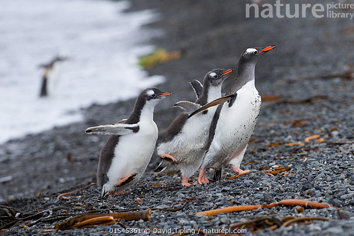RF - Gentoo penguin (Pygoscelis papua) adult with begging chicks, Holmestrand, South Georgia, January. (This image may be licensed either as rights managed or royalty free.)  ,  Animal,Vertebrate,Bird,Birds,Penguin,Gentoo penguin,Animalia,Animal,Wildlife,Vertebrate,Aves,Bird,Birds,Sphenisciformes,Penguin,Seabird,Spheniscidae,Pygoscelis,Pygoscelis papua,Gentoo penguin,Walking,Excitement,Eagerness,Enthusiasm,Enthusiastic,Excited,Togetherness,Happiness,Few,Three,Group,Nobody,Side View,Young Animal,Juvenile,Babies,Chick,Beach,Day,Nature,Wild,Coast,Marine,Coastal,Water,Animal Behaviour,Adult,Behaviour,Saltwater,Sea,Begging,Subantarctic islands,South Georgia Island,Three Animals,RF,Royalty free,RFCAT1,Holmestrand,RF16Q4,Marine bird,Marine birds,Pelagic bird,Pelagic birds,Flightless  ,  David Tipling