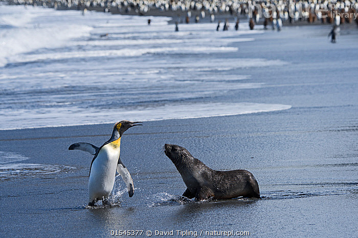 RF - King penguin (Aptenodytes patagonicus) and aggressive Antarctic fur seal pup (Arctocephalus gazella). St Andrews Bay, South Georgia. January. (This image may be licensed either as rights managed or royalty free.)  ,  Animal,Vertebrate,Bird,Birds,Penguin,King penguin,Mammal,Carnivore,Eared seal,Fur seal,Antarctic Fur Seal,Animalia,Animal,Wildlife,Vertebrate,Aves,Bird,Birds,Sphenisciformes,Penguin,Seabird,Spheniscidae,Aptenodytes,Aptenodytes patagonicus,King penguin,Mammalia,Mammal,Carnivora,Carnivore,Otaridae,Eared seal,Otary,Otarid,Pinniped,Pinnipedia,Arctocephalus,Fur seal,Arctocephalus gazella,Antarctic Fur Seal,Kerguelen Fur Seal,Arguing,Absent,Confronting,Confronts,Face To Face,Two,Nobody,Wet,Young Animal,Juvenile,Babies,Baby Mammal,Pup,Pups,Beach,Sands,Water's Edge,Day,Nature,Wild,Coast,Coastal,Water,Mixed species,Subantarctic islands,South Georgia Island,Two animals,Hauled out,RF,Royalty free,RFCAT1,St Andrews Bay,RF16Q4,Marine bird,Marine birds,Pelagic bird,Pelagic birds,Flightless,Marine  ,  David Tipling