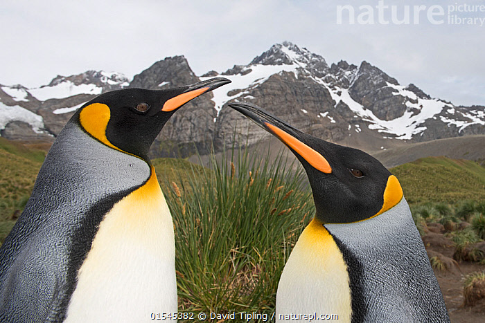 RF - Head portrait of two King penguins (Aptenodytes patagonicus). Gold Harbour, South Georgia. January 2015. (This image may be licensed either as rights managed or royalty free.)  ,  Animal,Vertebrate,Bird,Birds,Penguin,King penguin,Animalia,Animal,Wildlife,Vertebrate,Aves,Bird,Birds,Sphenisciformes,Penguin,Seabird,Spheniscidae,Aptenodytes,Aptenodytes patagonicus,King penguin,Comparison,Juxtaposition,Hierarchies,Respect,Face To Face,Two,Nobody,Pattern,Snowcapped,Profile,Side View,Portrait,Mountain,Landscape,Day,Nature,Wild,Habitat,Subantarctic islands,South Georgia Island,Two animals,Animal marking,Superiority,Animal portrait,RF,Royalty free,RFCAT1,Gold Harbour,RF16Q4,Marine bird,Marine birds,Pelagic bird,Pelagic birds,Flightless  ,  David Tipling