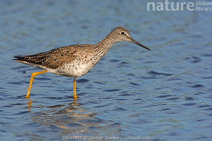 Greater yellowlegs (Tringa melanoleuca) wading in water, Myakka River State Park, Florida, USA. March., Animal,Vertebrate,Bird,Birds,Sandpiper,Greater yellowlegs,American,Animalia,Animal,Wildlife,Vertebrate,Aves,Bird,Birds,Charadriiformes,Scolopacidae,Sandpiper,Wader,Shorebird,Tringa,Tringa melanoleuca,Greater yellowlegs,Shanks,North America,USA,Southern USA,Southeast US,Florida,Profile,Side View,American,United States of America,, George  Sanker