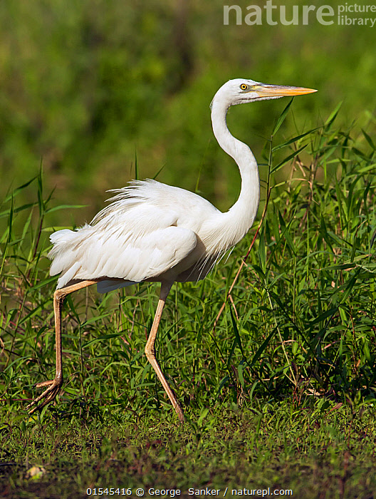 Great blue heron (Ardea herodias) Myakka River State Park, Florida, USA. March., Animal,Vertebrate,Bird,Birds,Typical heron,Great blue heron,American,Animalia,Animal,Wildlife,Vertebrate,Aves,Bird,Birds,Pelecaniformes,Ardeidae,Ardea,Typical heron,Heron,Ardeinae,Ardea herodias,Great blue heron,North America,USA,Southern USA,Southeast US,Florida,Profile,Side View,Reserve,Protected area,State park,American,United States of America,, George  Sanker